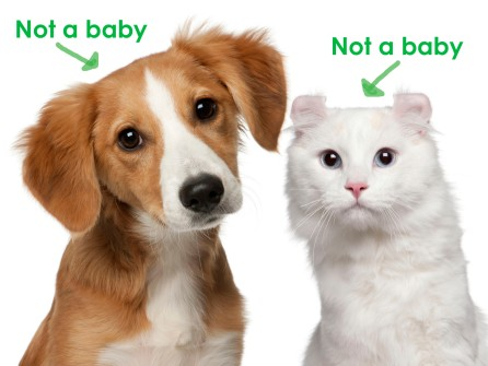 Mixed-breed puppy, and a American Curl cat, white background.